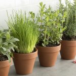 herbs that grow well in winter
