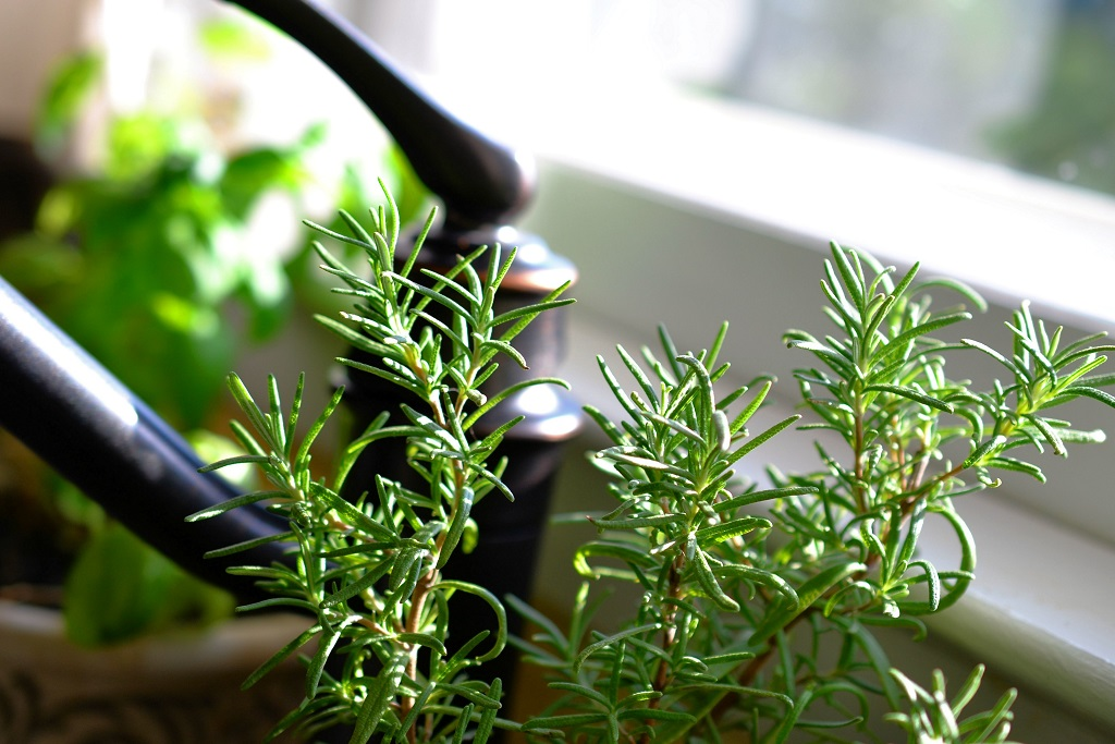 Rosemary in the kitchen window reaching for the light