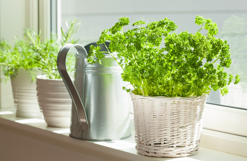 Three pots of fresh herbs in white pots with a watering can
