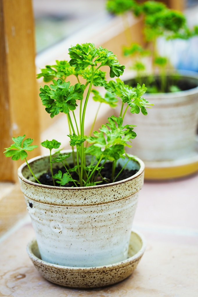 Potted Parsley plants