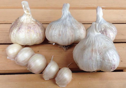 Amish Rocambole Garlic