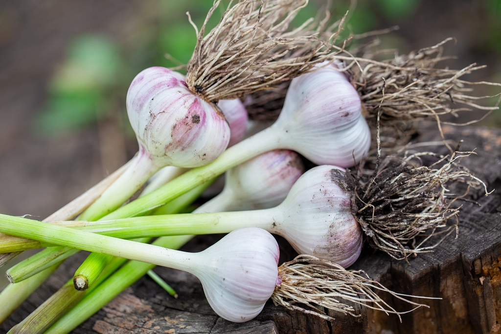 freshly harvested garlic bulbs