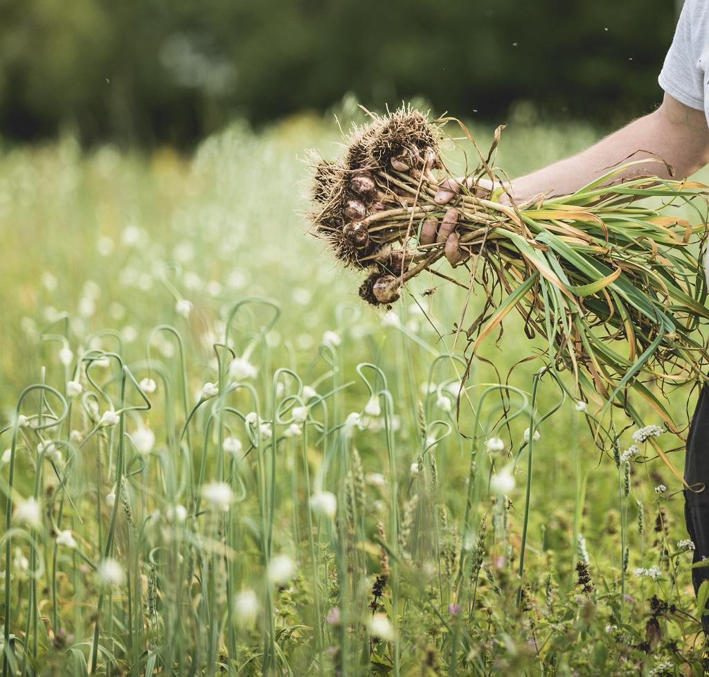 growing garlic in the field