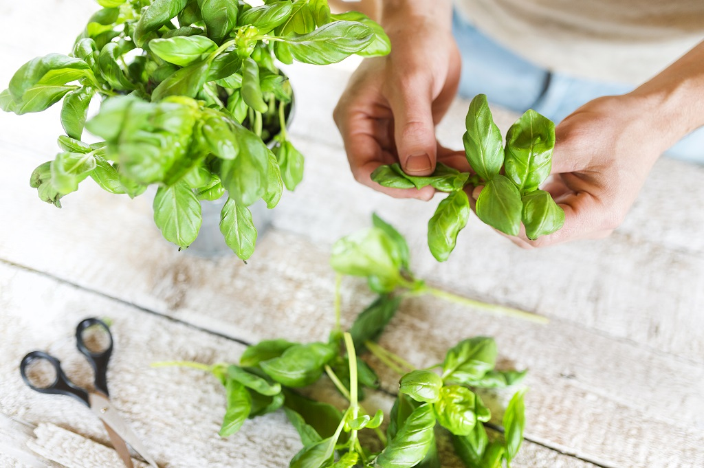 picking fresh basil leaves on a wooden table