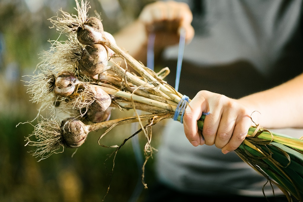 wrapping freshly picked garlic for drying