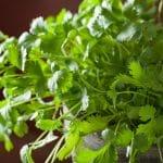 closeup of cilantro growing in a pot
