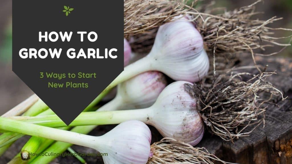 How to Grow Garlic - 3 ways to start new plants