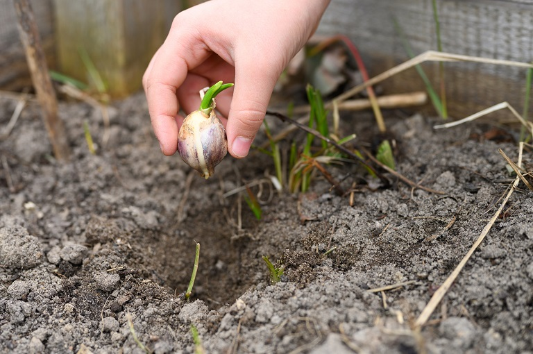 planting garlic bulbs in the ground