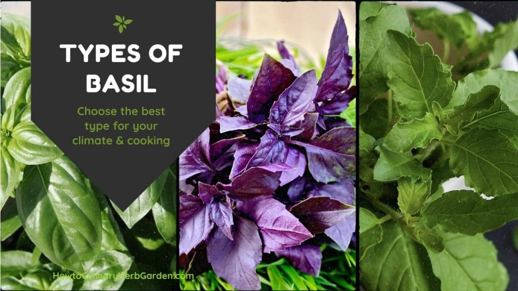 Types of Basil - Choose the best type for your climate and cooking.