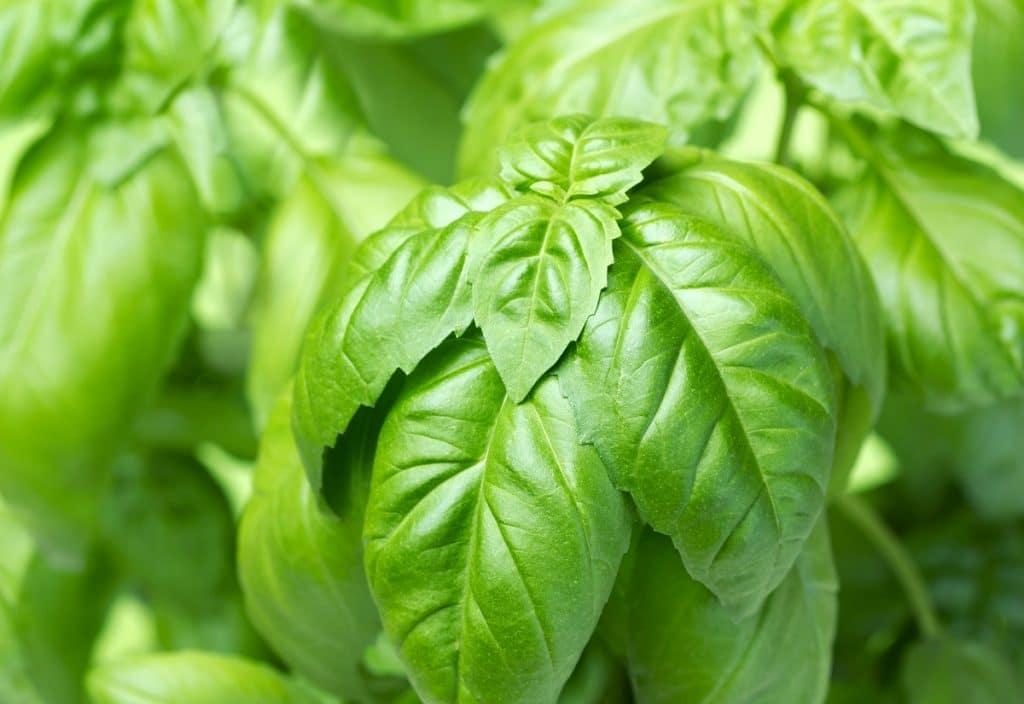 closeup of basil plant leaves