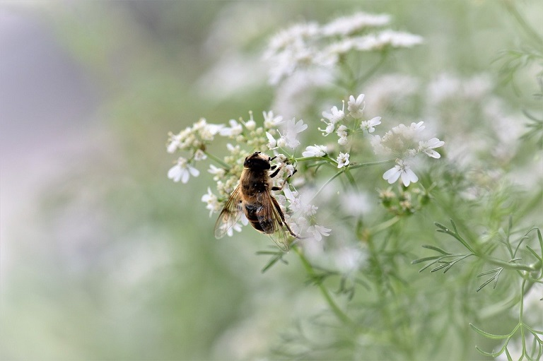 bee pollinating a flowering cilantro plant