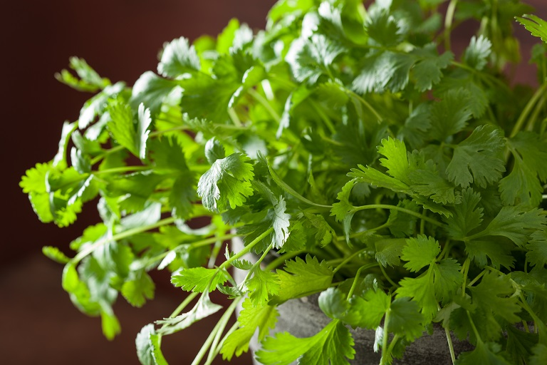 close up of cilantro leaves