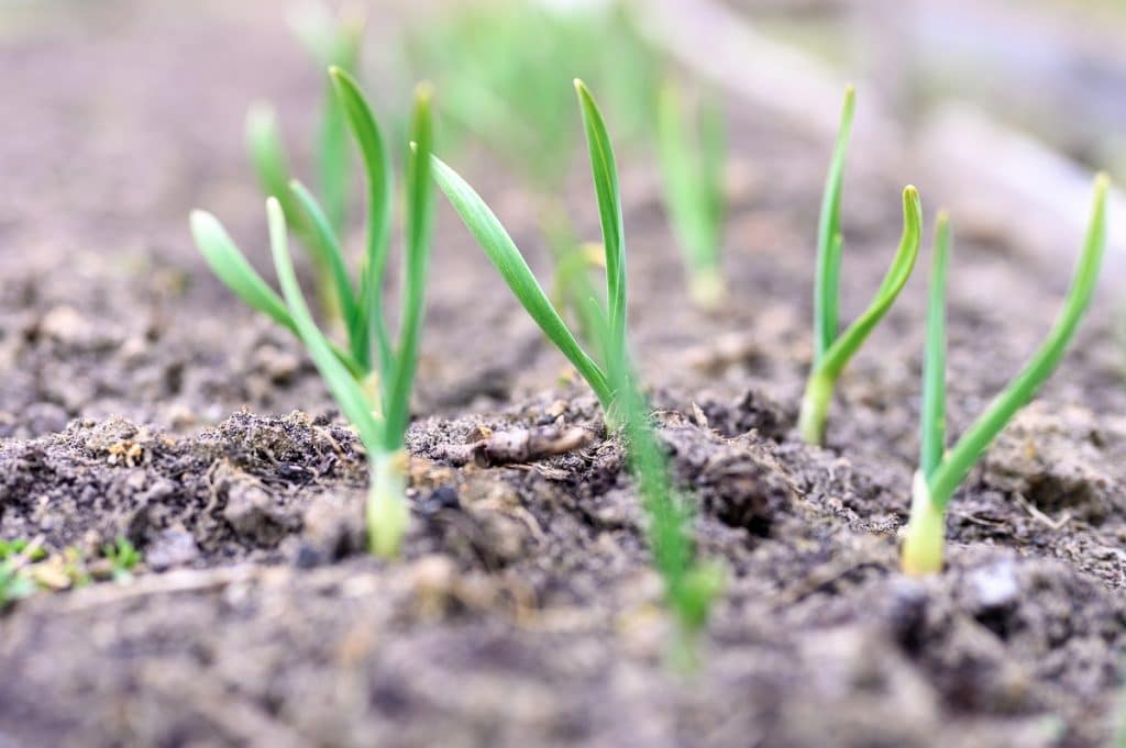 garlic growing in the ground