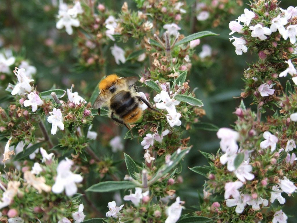 Bumble bee on flowering winter savory plant