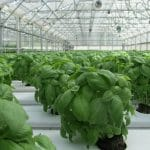 growing hydroponic basil in a commercial greenhouse