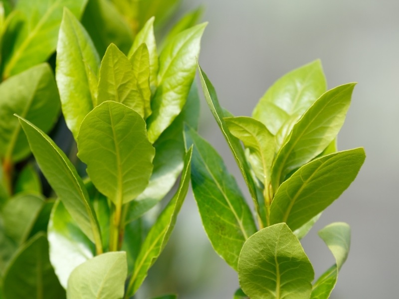 bay tree stems to be used for cuttings