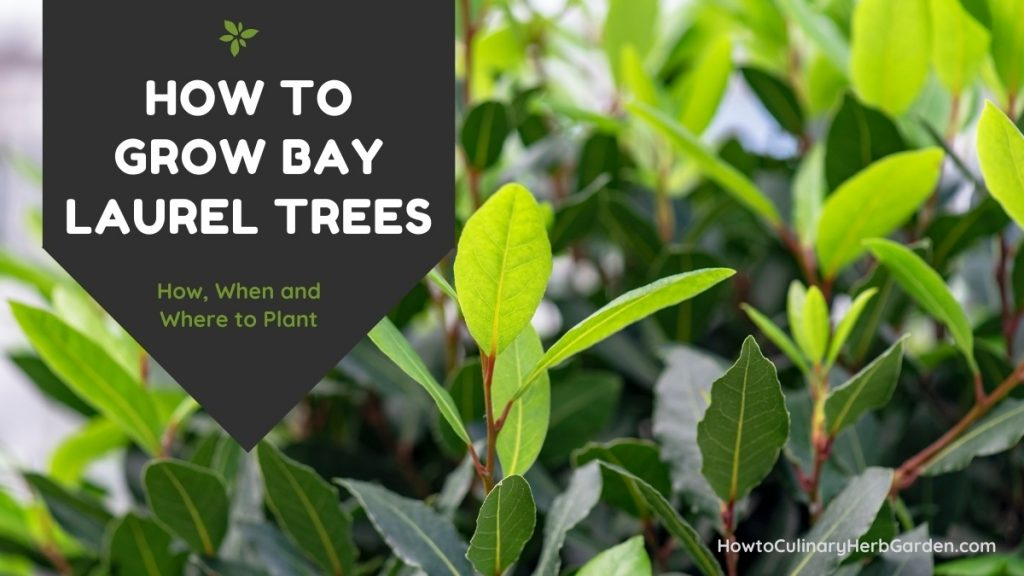 Title: How to Grow Bay Laurel Trees - How when and where to plant with healthy bay tree growing in the background