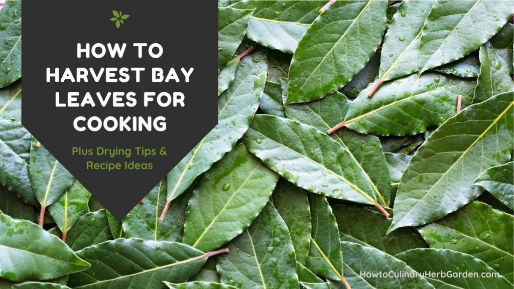 Title - how to harvest bay leaves for cooking - plus drying tips and recipes background of green bay leaves spread out