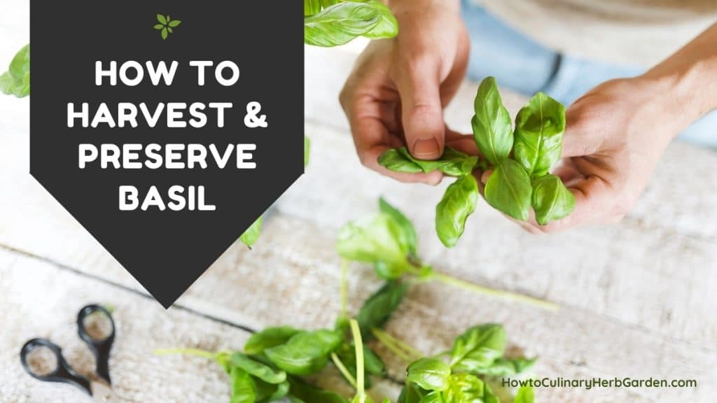 How to Harvest and Preserve Basil - Hand picking leaves from fresh basil stem onto table