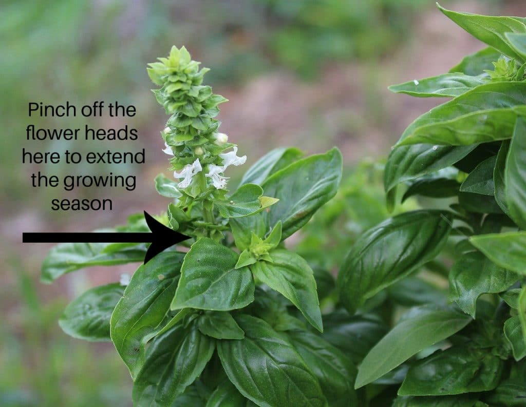 flowering basil plant with arrow showing where to pinch off the flowers