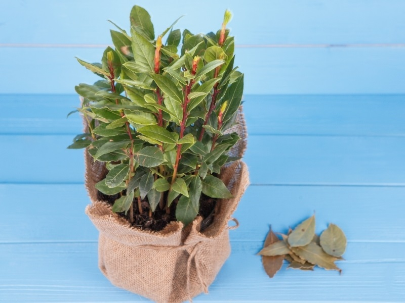 Small bay tree growing in a container with a burlap sack and blue background