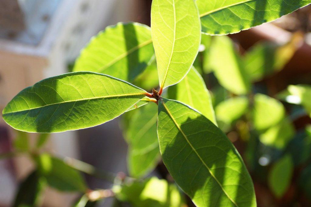 closeup of a bay laurel tree