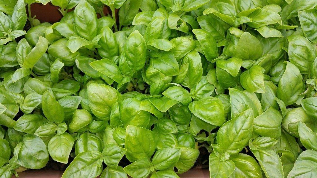 closeup of a few dozen basil plants