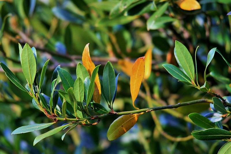 a few orange leaves growing on a bay laurel plant