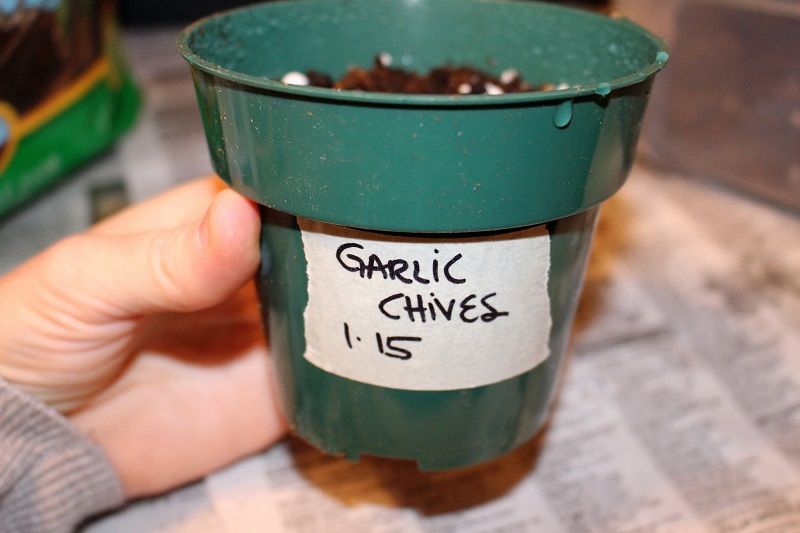 close up of small pot labeled with garlic chives and date planted