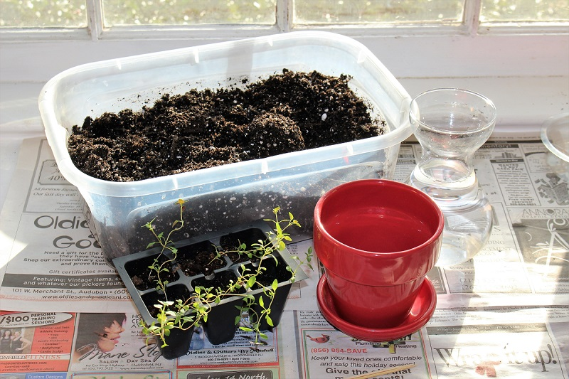 the plastic tubs I use for indoor planting - shown filled with soil and ready to tranplant some thyme