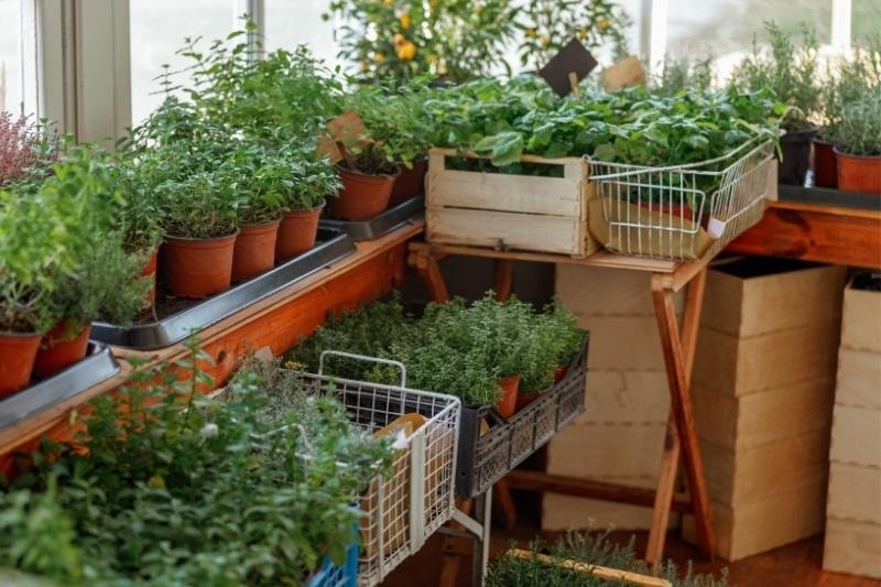 pots of herbs in the nursery