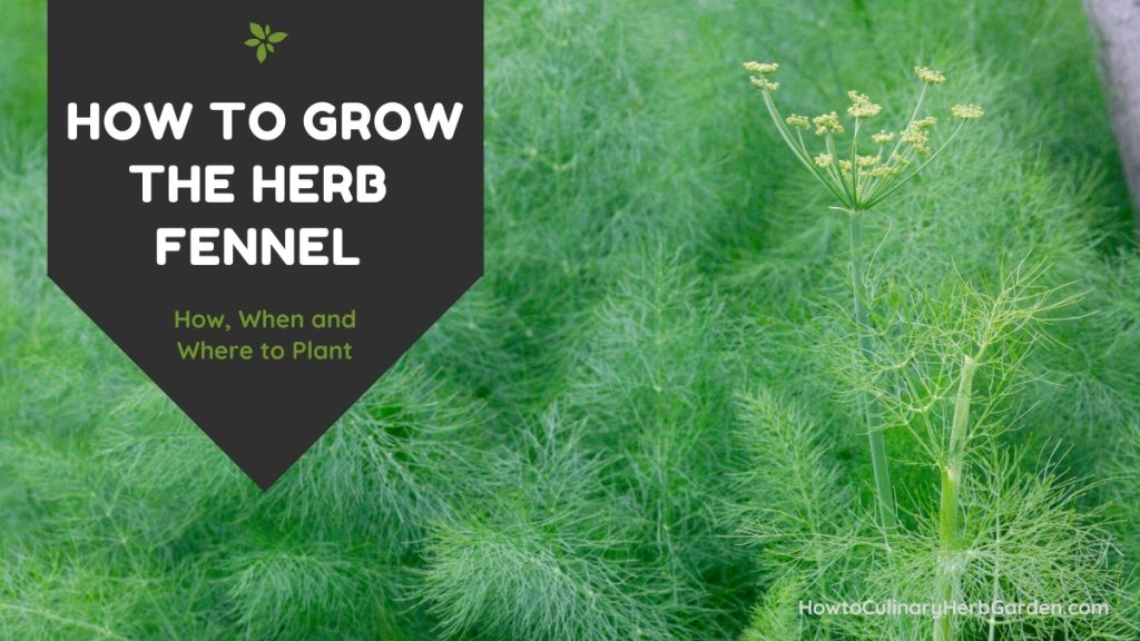 background of feathery fennel leaves with title overlay - How to grow the herb fennel