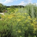 Herb garden with tall fennel plant blooming