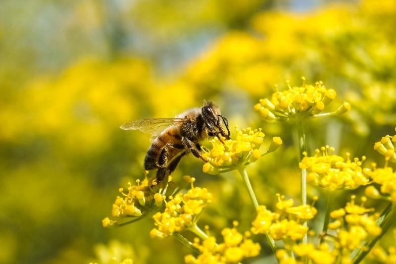 bee on yellow fennel flowers