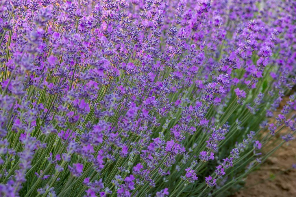 field of bright purple lavender blooms growing outside