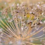 ripe fennel feeds closeup