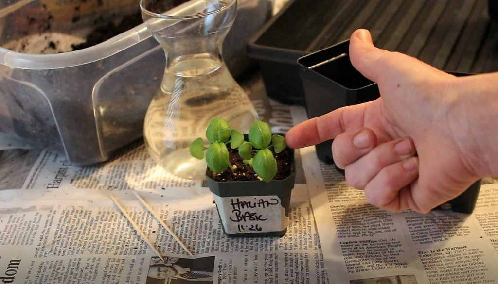 Two small basil seedlings ready to be transplanted