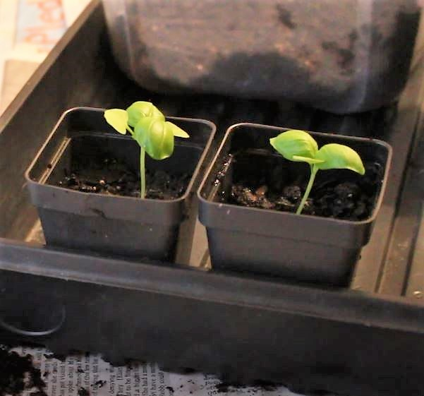 Basil seedlings in their new larger individual containers