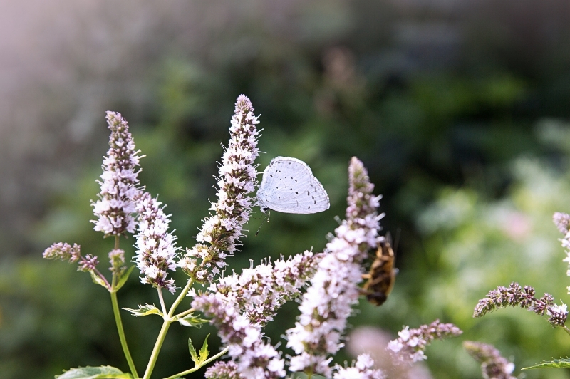 white butterfly on flowers of the mint mint