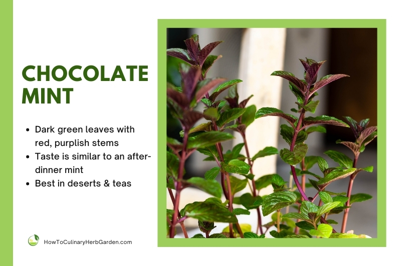 chocolate mint plant stems and leaves