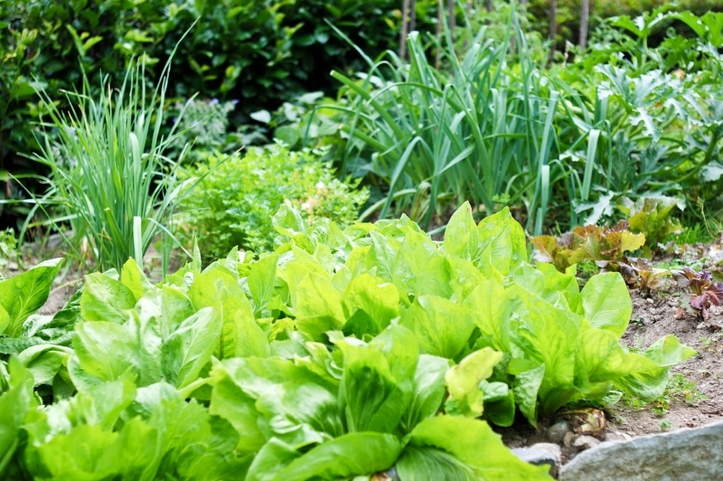 lettuce and herbs growing in the vegetable garden