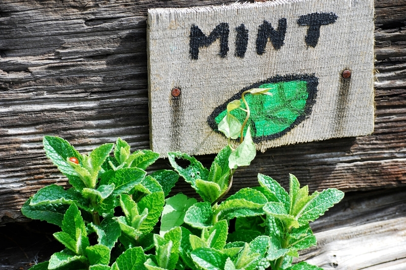 mint with ladybug on it growing next to wooden mint sign