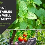 what vegetables grow well with mint - collage of mint plants with cabbage tomatoes and beans