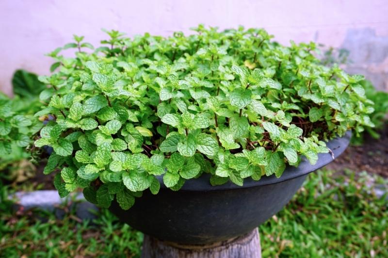 container of mint sitting in garden