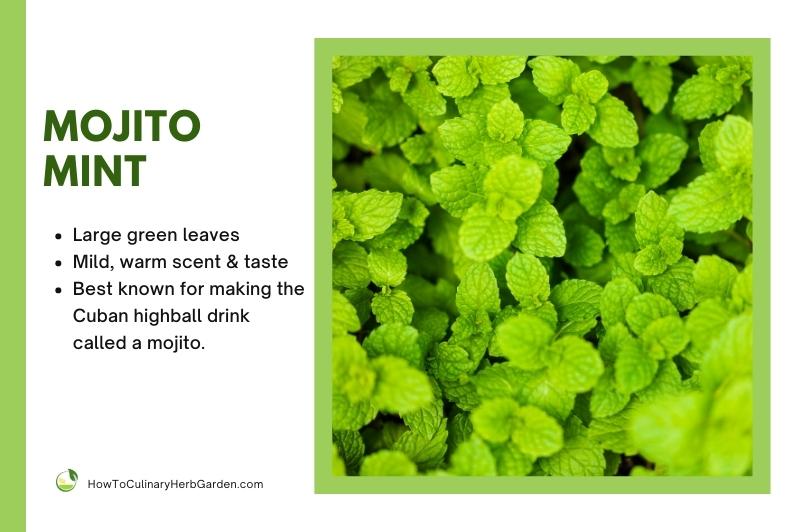 Mojito Mint Plant