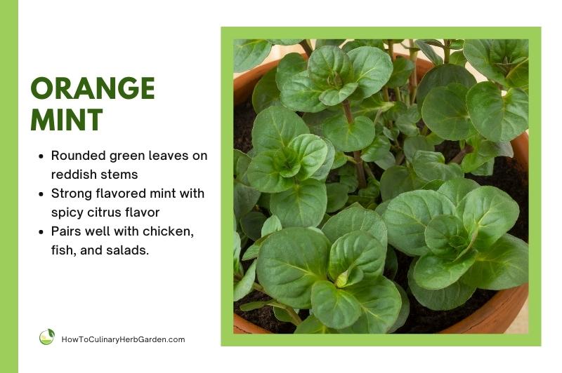 orange mint plant in a terracotta pot