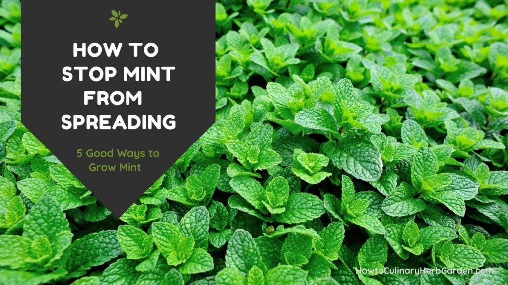 how to keep mint from spreading - large mint plant sprawling in the background