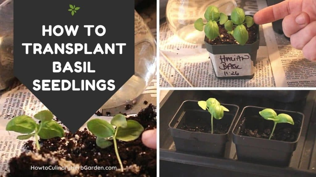 Three images showing the process of transplanting small basil seedlings into larger pots
