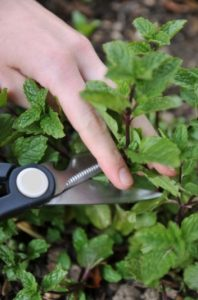 woman's hand cutting stems of a mint plant