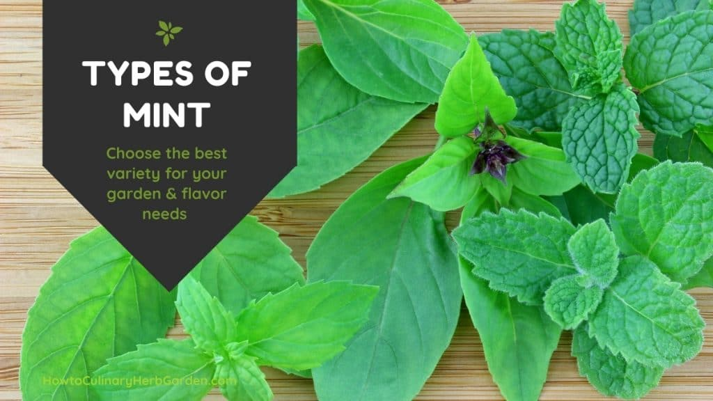 several varieties of mint on a wooden background